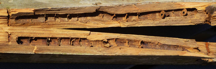 Carpenter bee nest (gallery) in a 2×4 piece of wood.