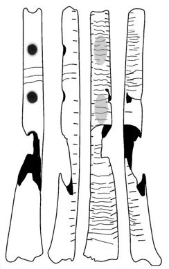 Drawing of the Gravettian culture flute (B) from Isturitz